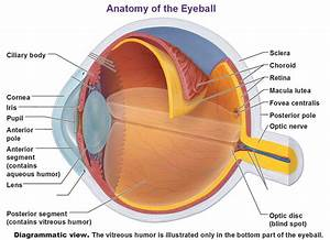 Accessory Structures Of The Eye  Extrinsic Eye Muscles