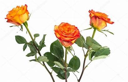 Rose Orange Single Bud Isolated Ksena32