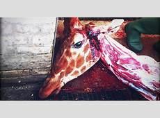 Marius Giraffe « Inhabitat – Green Design, Innovation