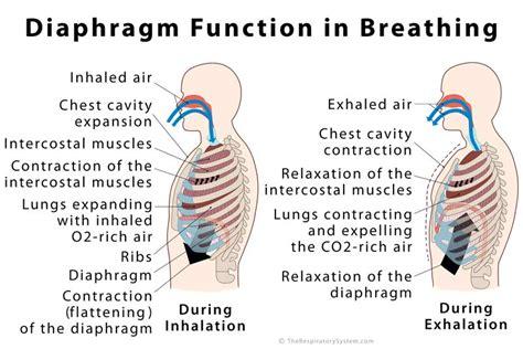 diaphragm definition location anatomy function diagram