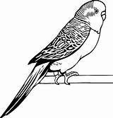 Parakeet Coloring Drawing Drawings Pages Awesome Bird Budgies Line Draw Easy Simple Parrot Cool Coloringsun Template Sketch Colors Printablecolouringpages Larger sketch template