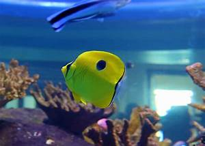 Yellow teardrop butterflyfish – Species – Two Oceans ...