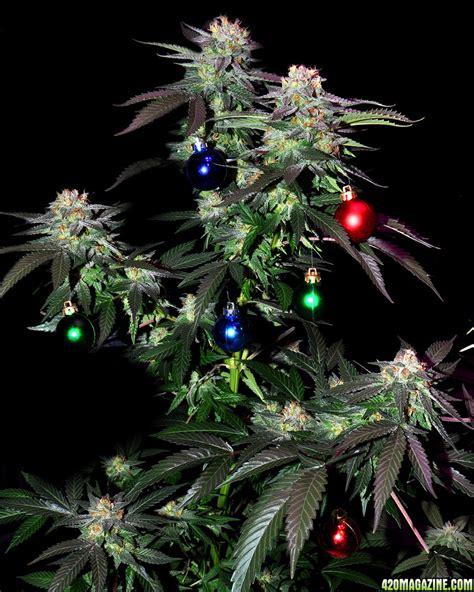 share your cannabis christmas tree pics ho ho ho