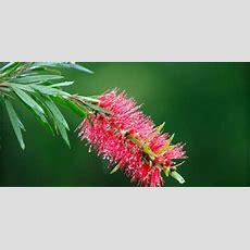 Australian Plants  Plant Guide  Lifestyle Home