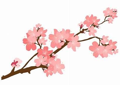 Blossom Cherry Clipart Branch Drawing Flower Sakura