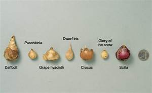 Forcing Bulbs - FineGardening
