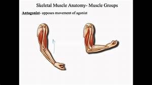 Muscular System Skeletal Muscle Anatomy Final