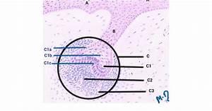 Oral Histology Diagrams