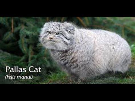 funny animals pallas cats    beauty cats
