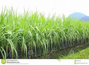 Sugarcane At Field Stock Photo  Image Of Agriculture