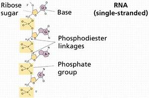 Nucleic Acids  U0026 Protein Synthesis