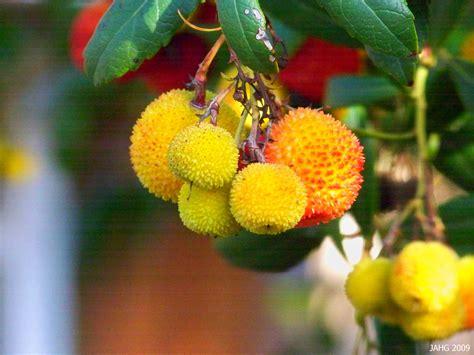 Arbutus Unedo Compacta  Name That Plant