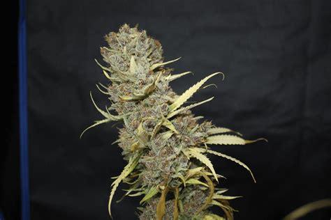 Terreau Pour Cannabis Interieur by Terreau Universel Jardiland Cannabis