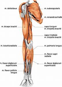 Muscles Of The Arm Anterior View