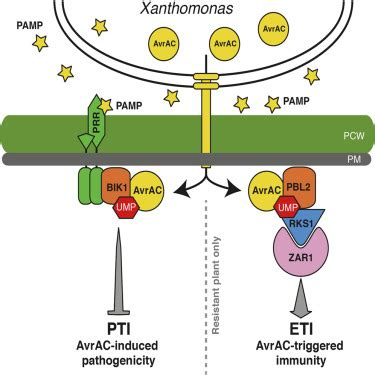 decoy substrate   pathogen effector