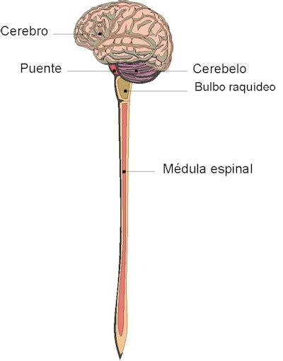 la snc sistema nervioso central taringa