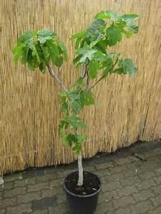 Welche Erde Für Palmen : zitronenlust onlineshop f r mediterrane pflanzen und b ume erdbeerbaum arbutus unedo ~ Watch28wear.com Haus und Dekorationen