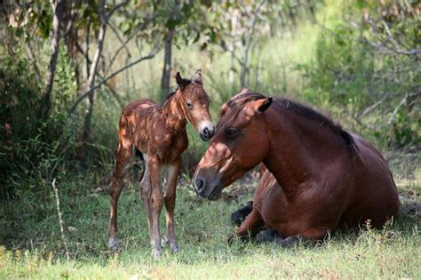 wild carolina north horses horse herd dangerous corolla selfies hurricane florence filly national born thursday aug she