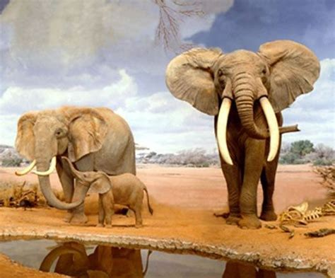 What Are Two Species Of Elephants? Quora