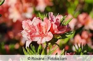 Rhododendron Braune Blätter : tipps zur pflege von pflanzen ~ Lizthompson.info Haus und Dekorationen