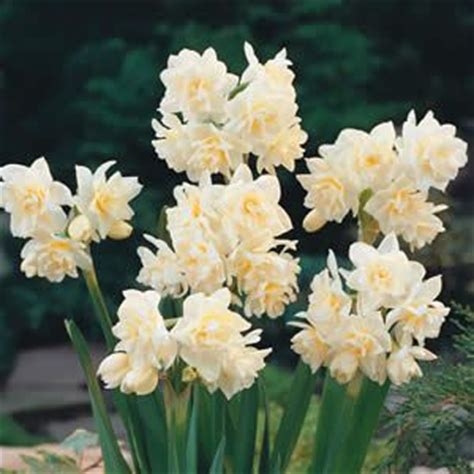 19 best images about jonquils on gardens