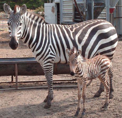 hn classifieds zebra colt  sale horse nation