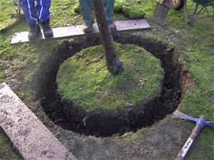 Profondeur Des Racines D Un Figuier : racines arbre tout ~ Carolinahurricanesstore.com Idées de Décoration