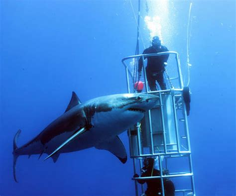 cage diving in guadalupe island mexico dive the world vacations