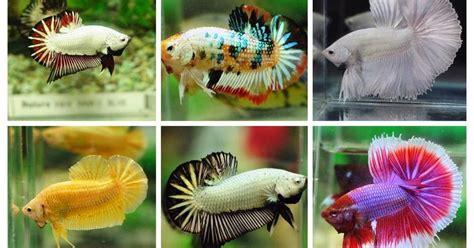 betta fish types  betta fish