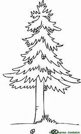 Coloring Tree Pine Trees Cone Template Clipart Treehut Stick Templates Views sketch template