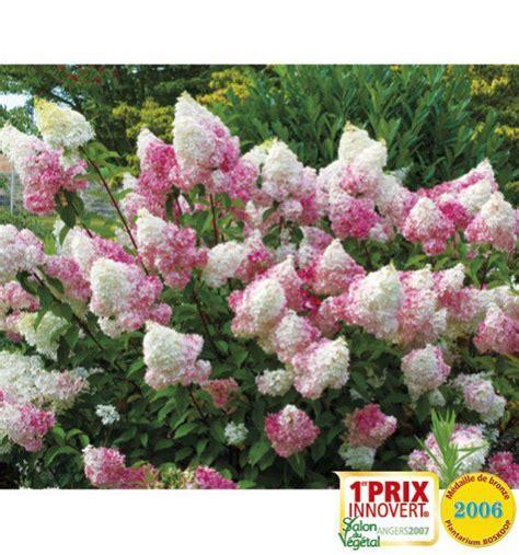 hortensia vanille fraise hortensia vanille fraise 174 renhy plante en ligne