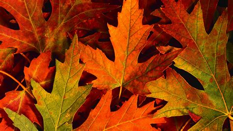 Autumn Tree Leaf Fall Animated Wallpaper - autumn desktop wallpaper page 2 of 3 hdwallpaper20
