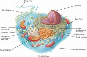 What Are The Different Cell Organelles  Plant Cell