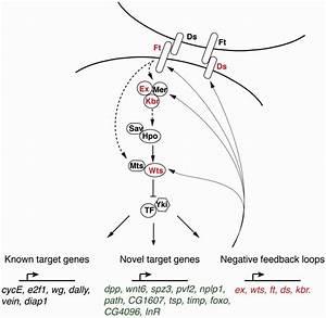 Novel Downstream Target Genes Of Yki In Drosophila  Schematic
