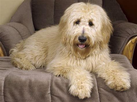 designer dog breeds   melt  heart