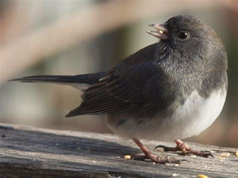 capt mondo s photo blog 187 blog archive 187 junco eating a seed