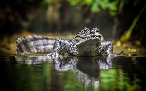 Water Animal Wallpaper - animals reptile jungles water wallpapers hd desktop