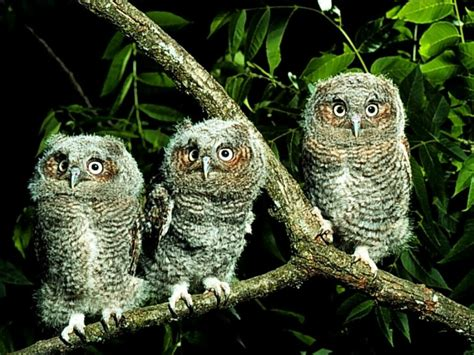 Owl Wallpaper by Owl Wallpapers Animal Literature