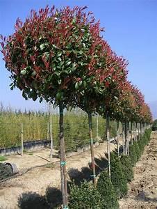 Arbre Croissance Rapide : arbre feuillage persistant croissance rapide la paysagerie ~ Premium-room.com Idées de Décoration