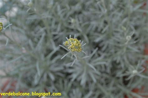 elicriso coltivazione in vaso verde balcone elicriso scheda di riconoscimento e
