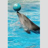 Bottlenose Dolphin Playing With A Ball | 300 x 450 jpeg 65kB