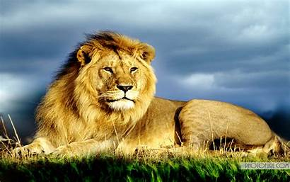 Lion Geographic National Animal Wallpapers Jungle King