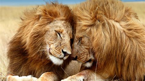 Animals Mating Pictures Wallpaper - picture of animals collection for free