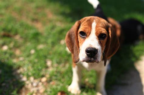 dog food  beagles barkspace