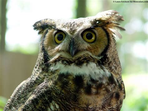 best 28 great horned owl call great horned owl