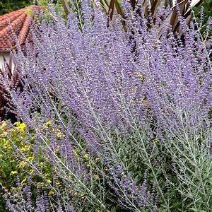 Plant De Lavande : p rovskia planter et cultiver ooreka ~ Nature-et-papiers.com Idées de Décoration