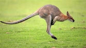 Gorilla Resumen by Kangaroo Animal Pictures