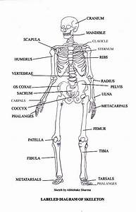 Free Diagrams Human Body