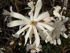 Magnolie Blüht Nicht : sternmagnolie bl ht nicht mehr ~ Buech-reservation.com Haus und Dekorationen