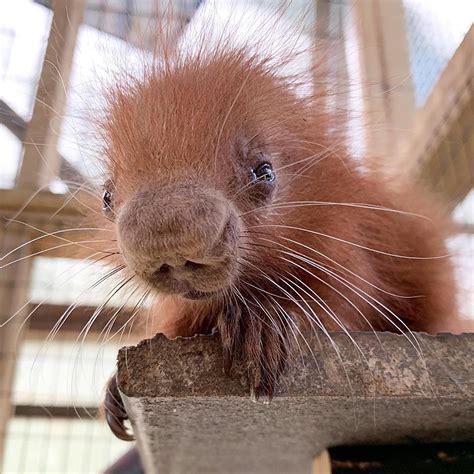 Threatened Species Baby Porcupine Born At Binghamtons Zoo